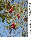 Small photo of Sterculia foetida Leaf clusters consist of 13-20 cm long petioles 3-5 mm long, red flowers or stink