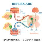 spinal reflex arc anatomical... | Shutterstock .eps vector #1034444086