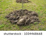 newly planted trees in a row.... | Shutterstock . vector #1034468668