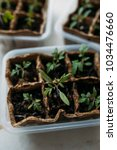 Small photo of Planting young tomato seedlings in peat pots on wooden background. Agriculture, garden, homegrown food, vegetables, self-sufficient home, sustainable household concept. Plant seedlings growing
