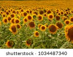 Many Yellow Blooming Sunflower...