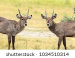 Small photo of The waterbuck is a large antelope found widely in sub-Saharan Africa. It is placed in the genus Kobus of the family Bovidae.