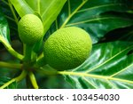 Green Breadfruit