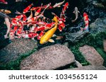 Colourful And Golden Koi Carp...