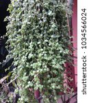 Small photo of Dischidia or Asclepiadaceae plant. Small creeper.