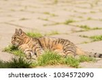 striped cat on the street.  | Shutterstock . vector #1034572090