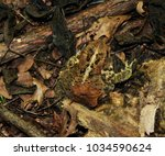 Small photo of American toad camouflaged among leaves