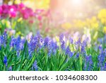 blue salvia in the morning... | Shutterstock . vector #1034608300