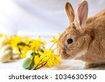 easter bunny rabbit in rufus... | Shutterstock . vector #1034630590