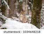 lynx sitting on the snow in the ...   Shutterstock . vector #1034648218