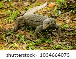 varanus lizard in the... | Shutterstock . vector #1034664073