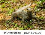 varanus lizard in the... | Shutterstock . vector #1034664103