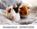 Two Guinea Pigs On The Woolen...
