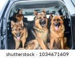 german shepherds posing in the... | Shutterstock . vector #1034671609