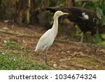 the great egret  ardea alba    Shutterstock . vector #1034674324