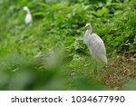 the great egret  ardea alba    Shutterstock . vector #1034677990