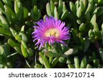 Carpobrotus Chilensis Type...