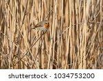 robin bird erithacus rubecula | Shutterstock . vector #1034753200