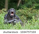 Female Common Chimpanzee...