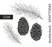 Cedar. A Cone  A Branch. Black...