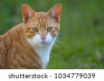 Ginger And White Cat  With...