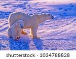Small photo of Polar bear with cub on Canadian Arctic tundra