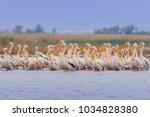 white pelicans  pelecanus... | Shutterstock . vector #1034828380