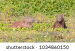 capybara  largest rodent in its ...   Shutterstock . vector #1034860150