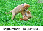 Stock photo two brown puppies are fighting on the green grass one is standinf on top while the other is laying 1034891833