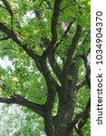 sunny weather. oak blossomed in ... | Shutterstock . vector #1034904370