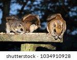 Japanese Dwarf Flying Squirrel...