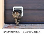 Stock photo a norwegian forest cat passes through a cat flap 1034925814