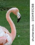 Small photo of American flamingo head neck and shoulder close up against grass