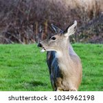 Small photo of This deer was grazing along at Casey State Park on Whidbey Island and appears to be talking.