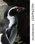 Small photo of African Penguin portrait