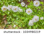 beautiful white roses in a... | Shutterstock . vector #1034980219