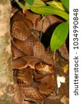 Small photo of Venomous Copperhead (Agkistrodon contortrix) snake at Monte Sano State Park in Alabama