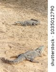 Small photo of Group of ferocious crocodiles or alligators basking in the sun and maintained at Madras Crocodile Bank Trust located in Chennai, India and its one of popular tourists attraction and famous landmark