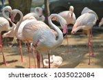 flamingo in the zoo   Shutterstock . vector #1035022084