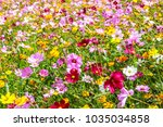 colorful cosmos flower blooming ... | Shutterstock . vector #1035034858