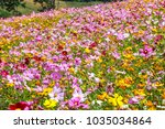 colorful cosmos flower blooming ... | Shutterstock . vector #1035034864