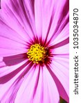 colorful cosmos flower blooming ... | Shutterstock . vector #1035034870