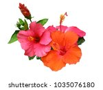 hibiscus flower or chinese rose ... | Shutterstock . vector #1035076180