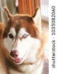 siberian husky background | Shutterstock . vector #1035082060