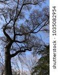 Small photo of View from bellow of oriental sweegum tree, liquidambar orientalis, hamamelidaceae family