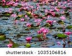 nature of beautiful red lotus...   Shutterstock . vector #1035106816