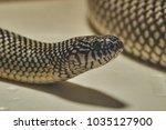 big apalachicola kingsnake   Shutterstock . vector #1035127900