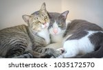 Stock photo this couple of cats live together since childhood and they both have children together make love 1035172570