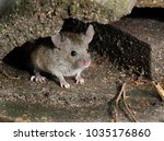 mouse in hiding looking for... | Shutterstock . vector #1035176860