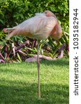 Small photo of american flamingo standing on one leg, resting with eye open
